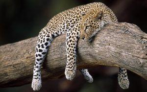 Foto_adaptacia_artical_leopard